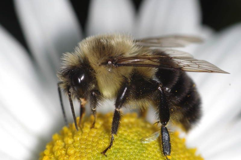 Bumblebees used to be called humblebees because of the humming noise they make when they fly.
