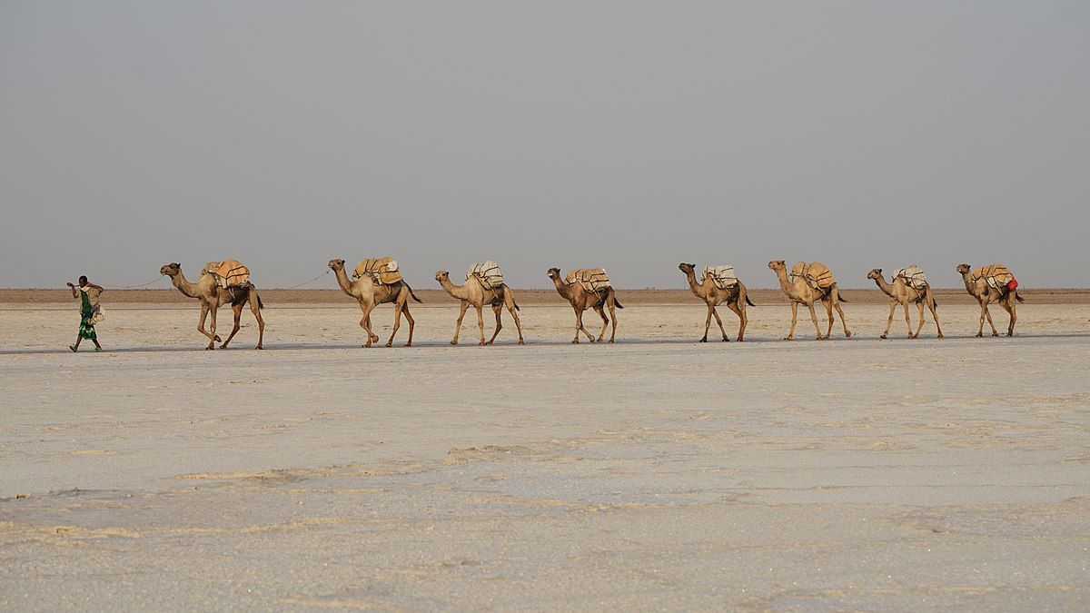 Camels are the only animals that can carry heavy loads from place to place in the desert because they can go for long periods without eating or drinking water.