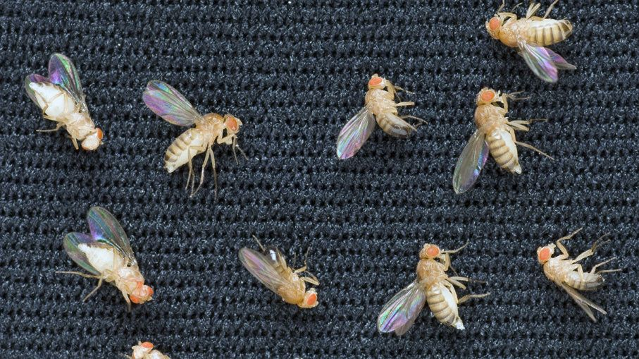 The first animals in space were fruit flies, launched in a V-2 rocket by the US in 1947. The fruit flies were recovered alive.
