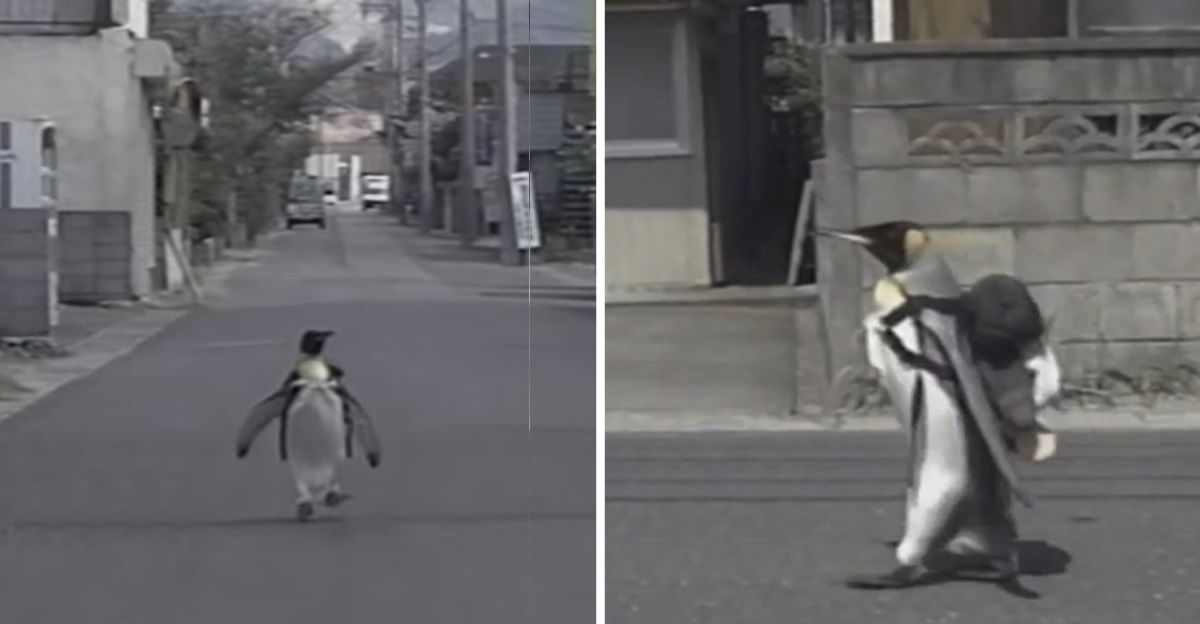 A pet penguin in Japan named La La walks into town by himself with a backpack every day to collect fish from the local market.