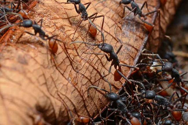 Army ants are used as natural sutures. Their jaws are so powerful, natives staple wounds by forcing ants to bite them and then break off the body.