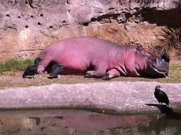 When hippos are upset, their sweat turns red.