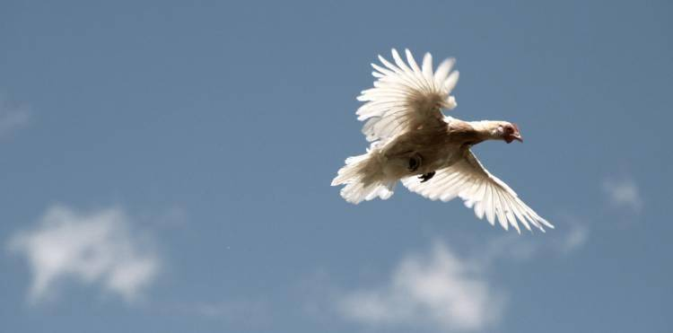 The longest recorded flight of a chicken was 13 seconds.