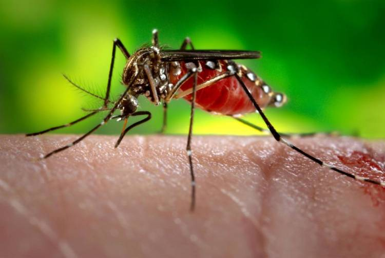 Only female mosquitoes bite