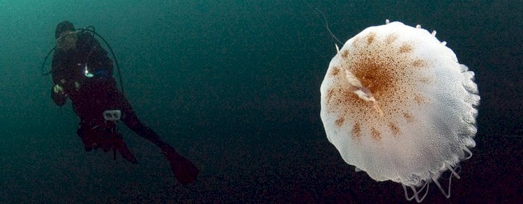 A jellyfish is 95% water.