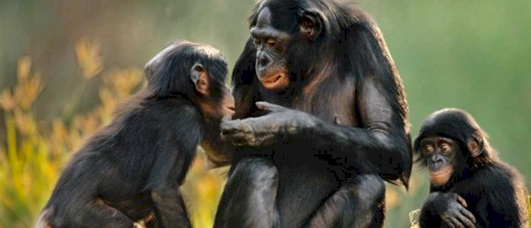 Studies show that apes experience dips in happiness in their middle age, much like people do.