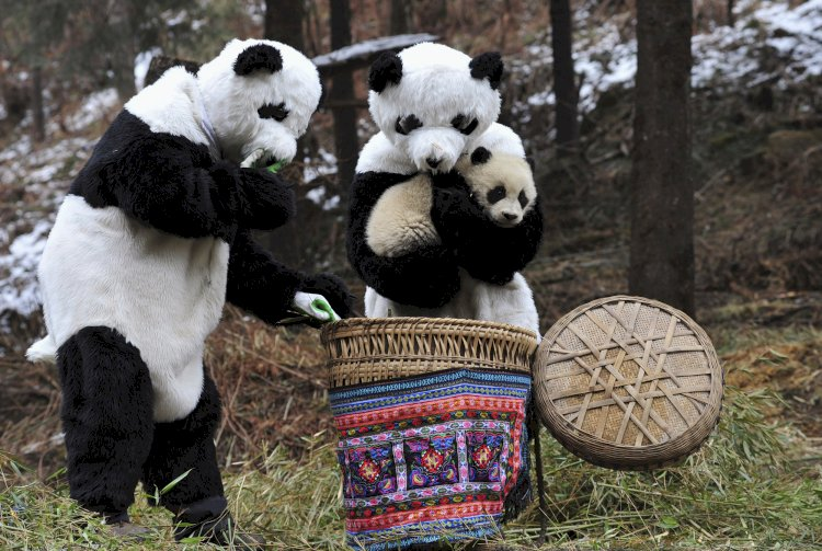 To help panda cubs adapt to living in the wild, researchers at a panda center in China wear panda costumes to work with them.