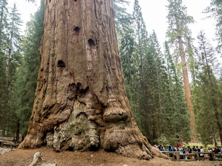 The largest living thing on earth is a giant sequoia named General Sherman.