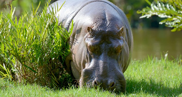 Hippos use their sweat as sunscreen.