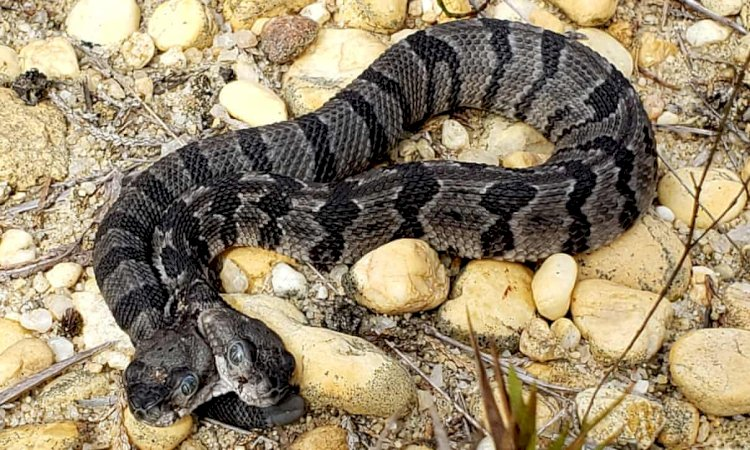When snakes are born with two heads they fight each other for food.