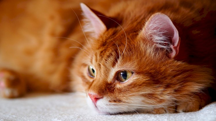 Most ginger cats are male.