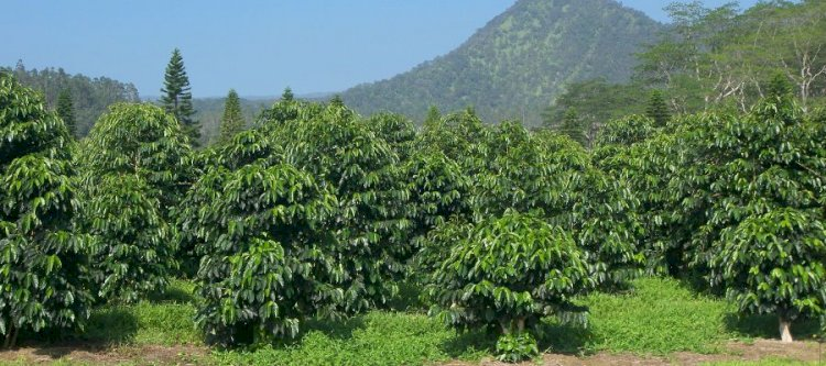 Coffee trees produce its first full crop after 5 years old